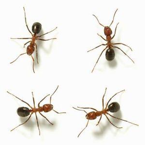 Как избавиться от домашнего муравья