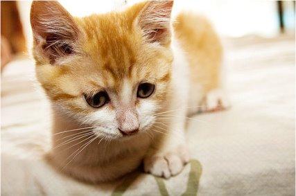 Как избавиться от блох у котят