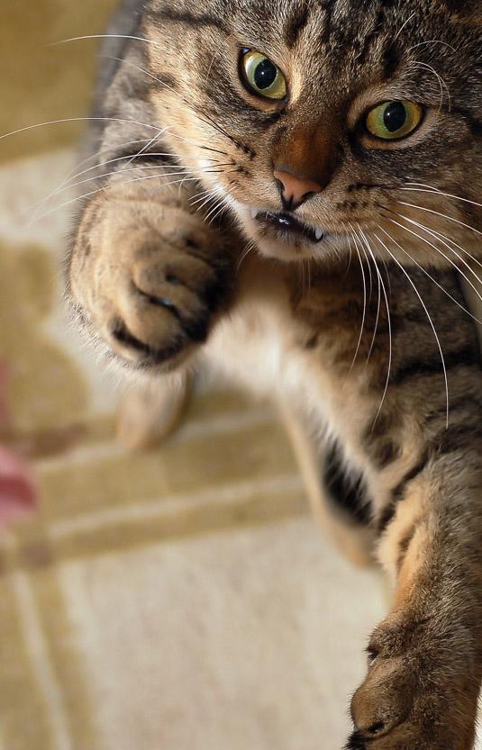 У кота дырка от укуса гной под кожей